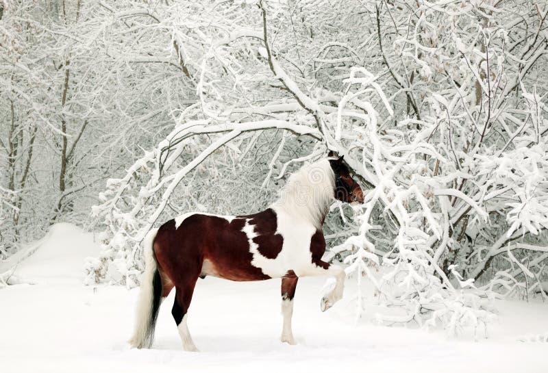 Cavalo pintado que corre em madeiras cobertos de neve fotografia de stock