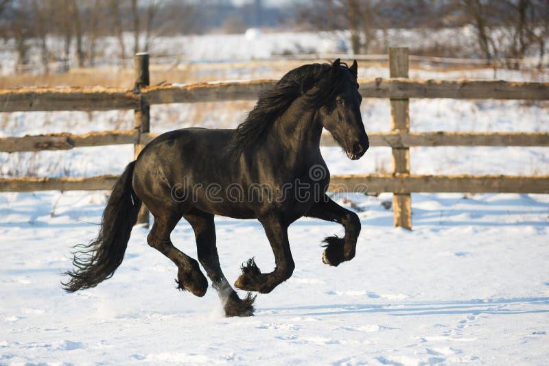 Cavalo preto do frisian no inverno foto de stock royalty free