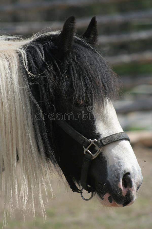 Cavalo preto e branco fotos de stock