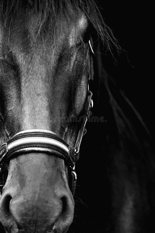 Cavalo preto no fundo preto foto de stock royalty free