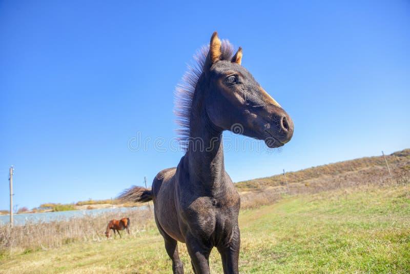 Cavalo preto novo imagem de stock royalty free