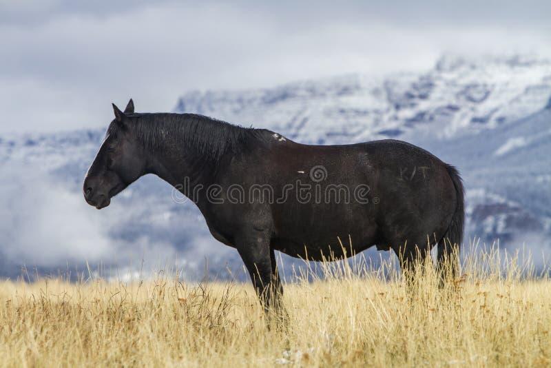 Cavalo preto que está na grama, Wyoming foto de stock