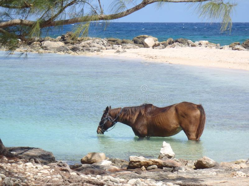 Cavalo que bebe no mar imagens de stock royalty free