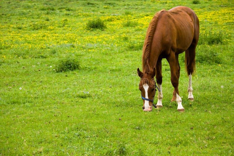 Cavalo que come a grama no prado imagens de stock