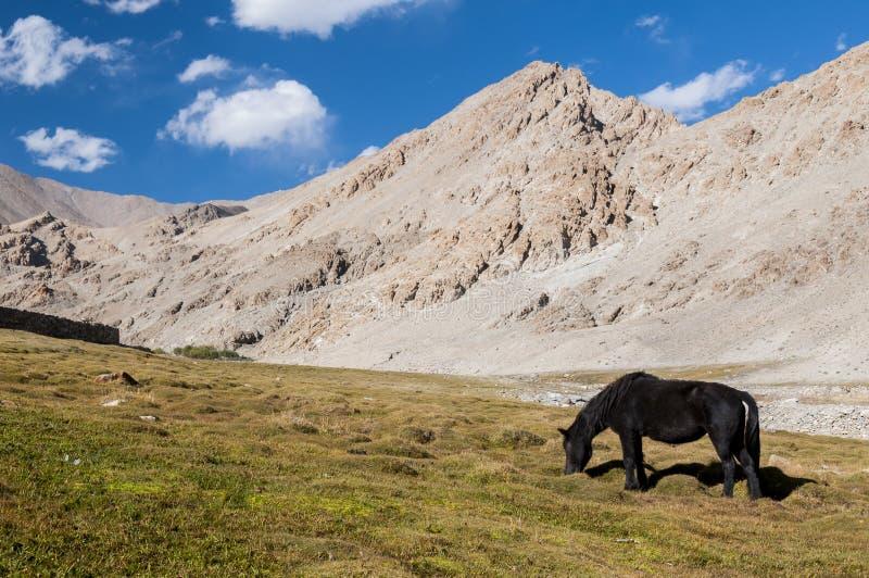 Cavalo que come a grama no vale Himalaia, Ladakh, Índia imagem de stock royalty free