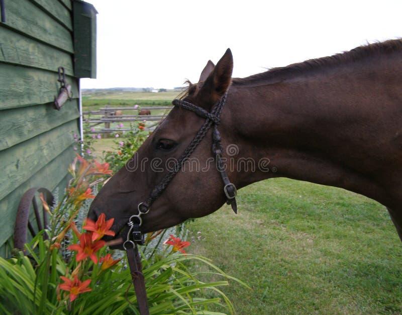 Cavalo que come os lillies fotografia de stock