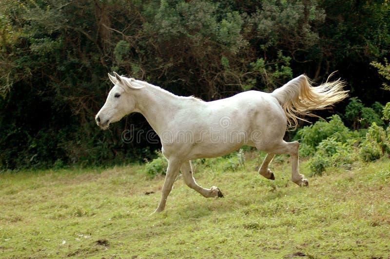 Cavalo que galopa para baixo imagem de stock