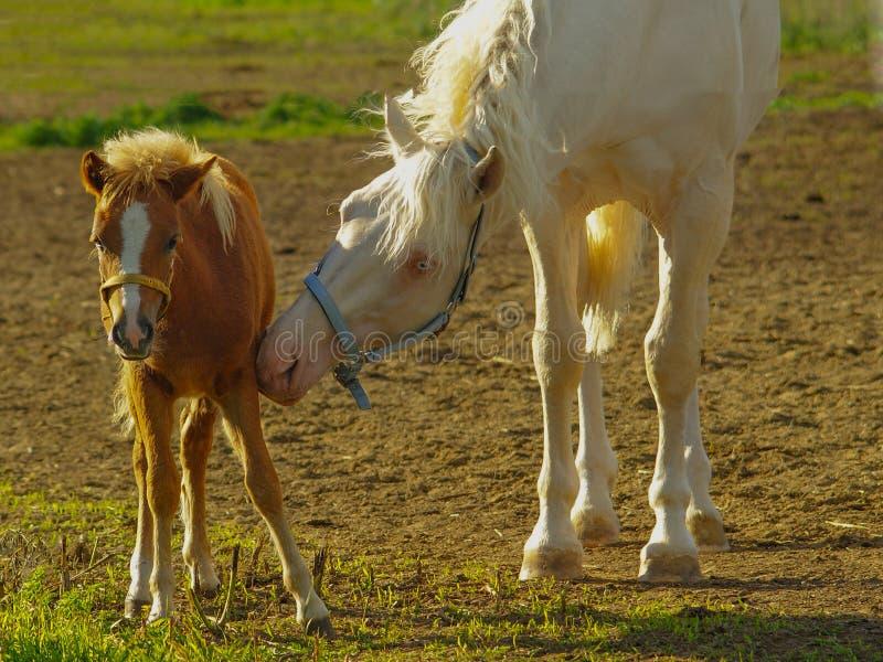 Cavalo que importa-se com seu potro fotografia de stock royalty free