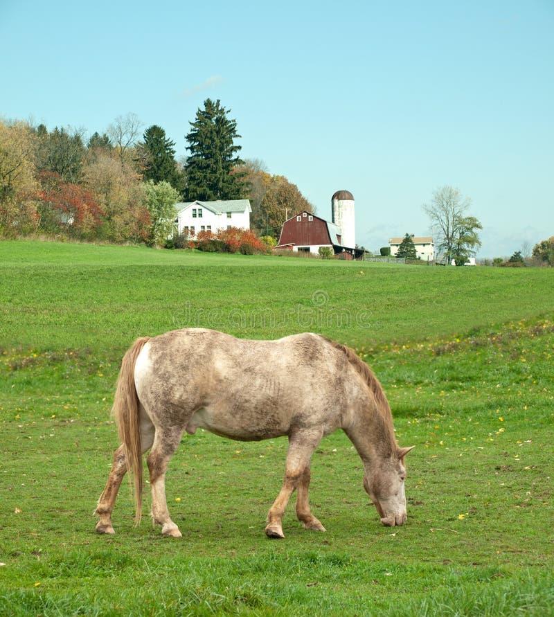 Cavalo que pasta no campo foto de stock