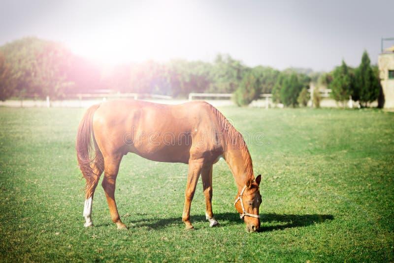 Cavalo que pasta no pasto fotos de stock royalty free