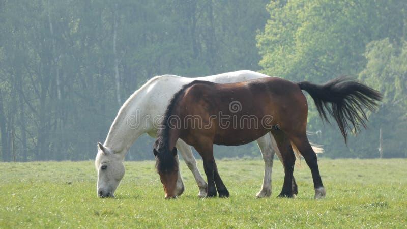 Cavalo 3 que pasta no prado que come o café da manhã fotos de stock