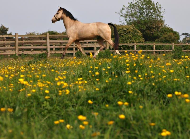 Cavalo que trota nos botões de ouro foto de stock