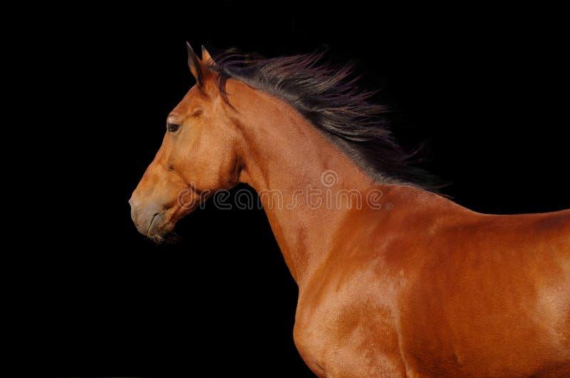Cavalo running imagem de stock
