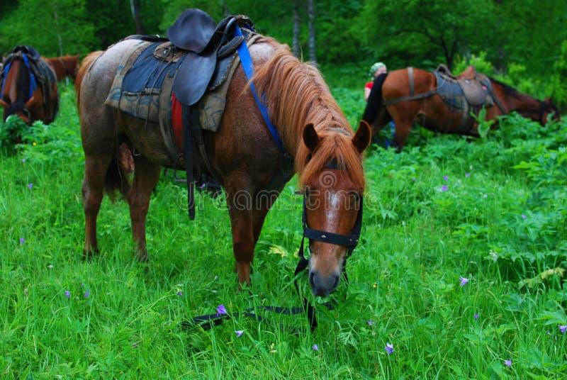 Cavalo selado que come a grama em uma ruptura foto de stock royalty free