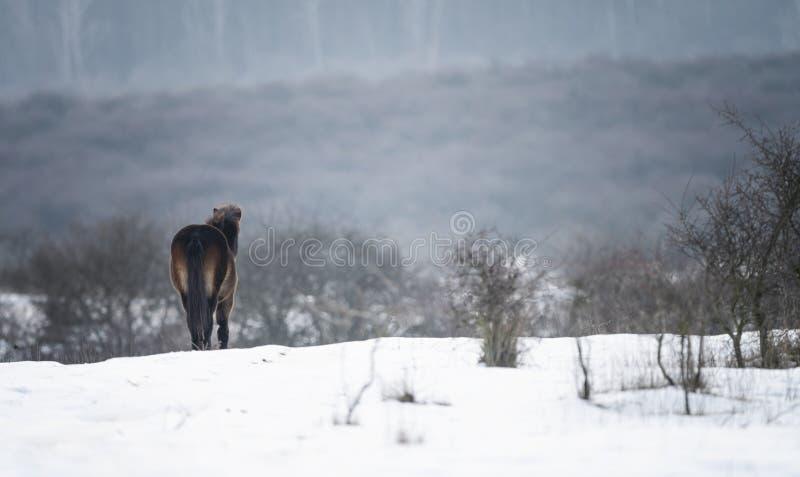 Cavalo selvagem Cavalo selvagem bonito na paisagem do inverno fotografia de stock