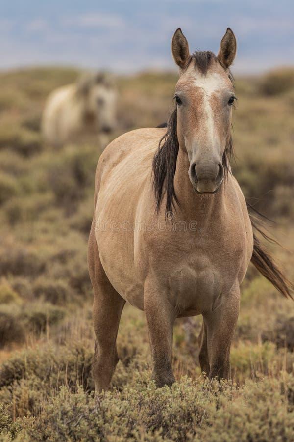 Cavalo selvagem bonito no deserto alto de Colorado fotografia de stock