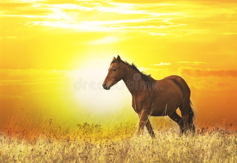 Cavalo selvagem bonito no por do sol foto de stock