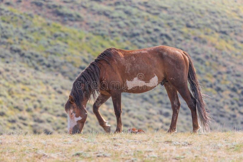 Cavalo selvagem bonito que pasta no deserto alto de Colorado foto de stock