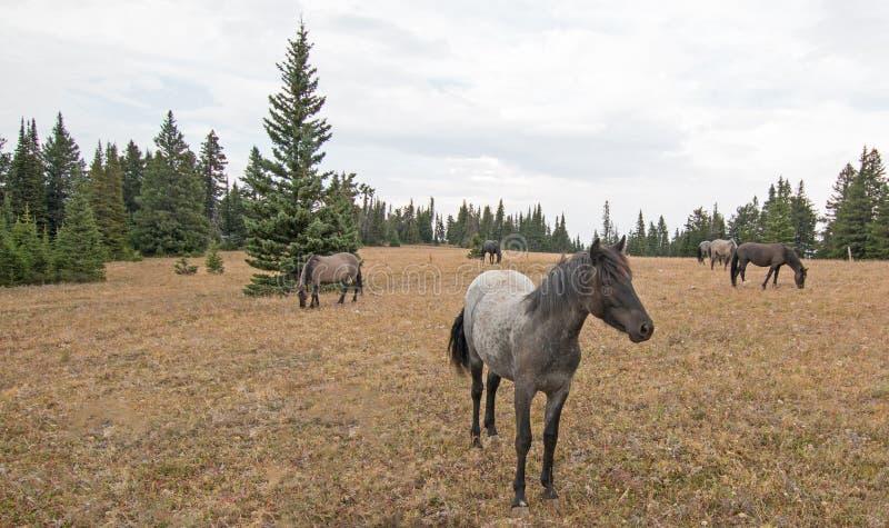 Cavalo selvagem da égua azul de Roan Yearling na escala do cavalo selvagem das montanhas de Pryor em Montana EUA fotografia de stock royalty free