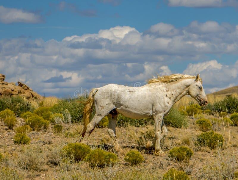 Cavalo selvagem Hardscrabble na reserva de Navajo fotos de stock