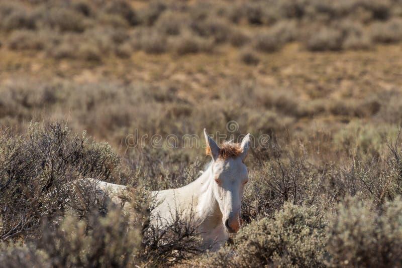 Cavalo selvagem novo bonito no deserto alto imagens de stock royalty free