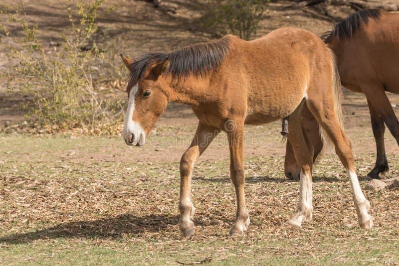 Cavalo selvagem novo no deserto do Arizona foto de stock