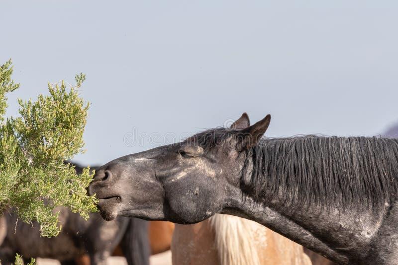 Cavalo selvagem que come no deserto de Utá fotos de stock
