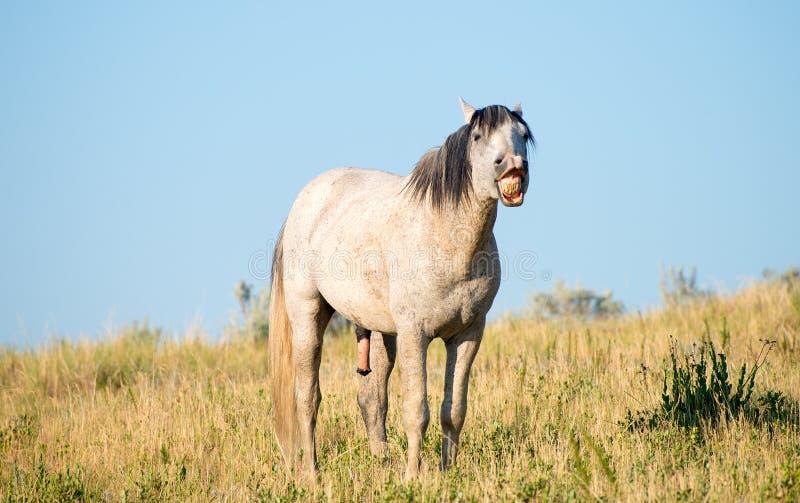 Cavalo selvagem que descobre os dentes, animais selvagens foto de stock