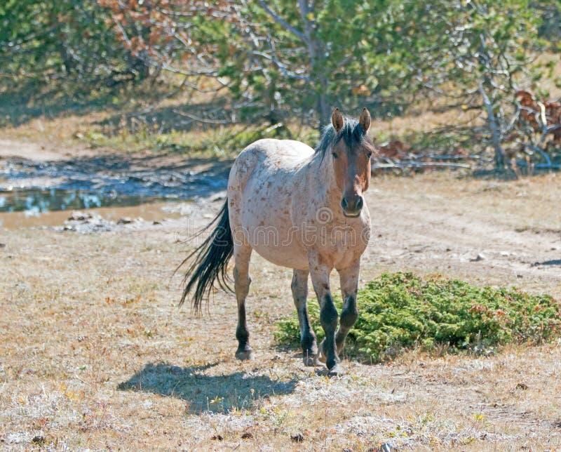 Cavalo selvagem vermelho de Roan Stallion na escala do cavalo selvagem da montanha de Pryor em Montana foto de stock royalty free