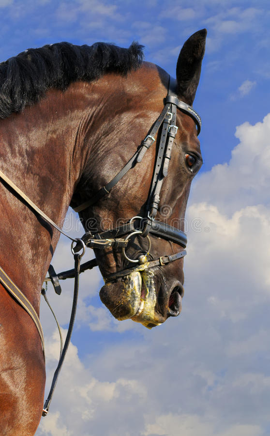 Cavalo Sportive fotografia de stock