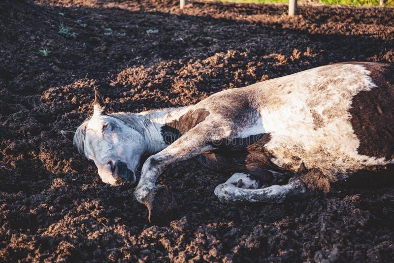 Cavalo velho do puro-sangue da pintura que toma uma sesta em seu prado, encontrando-se para baixo na lama: cavalo do sono fotos de stock royalty free