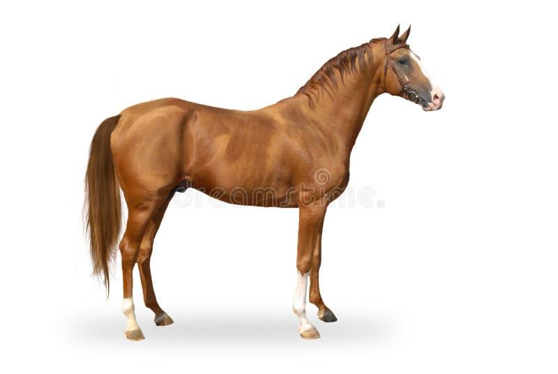 Cavalo vermelho do warmbllood isolado no branco fotografia de stock royalty free