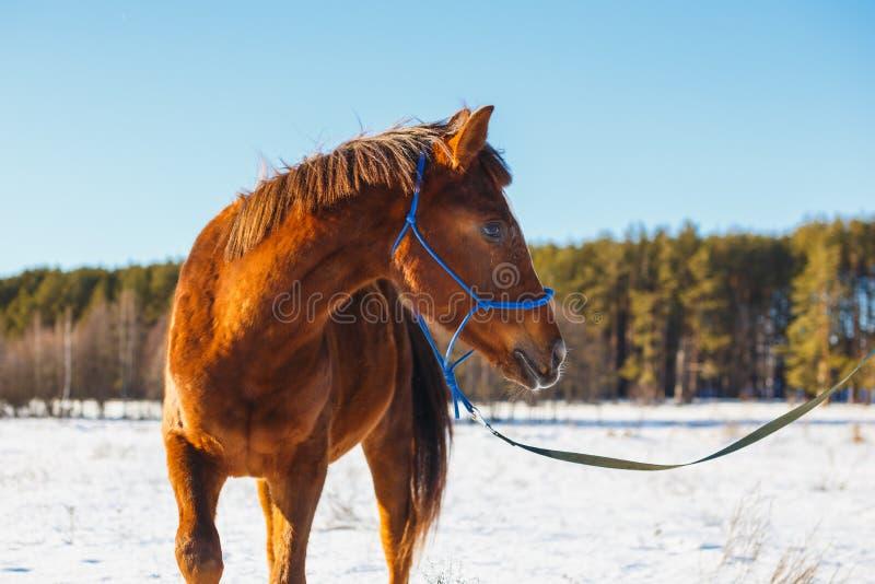 Cavalo vermelho em um campo nevado do inverno fotografia de stock royalty free