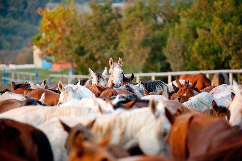 Cavalos árabes no parafuso prisioneiro imagem de stock