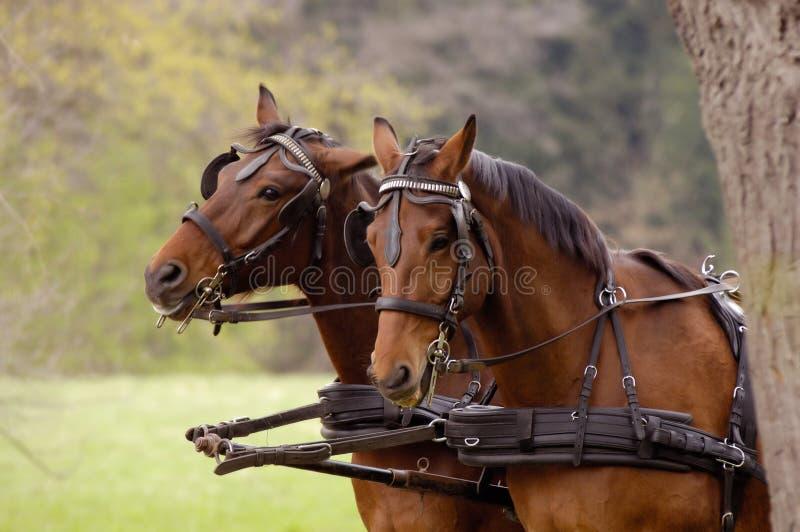 Cavalos foto de stock royalty free