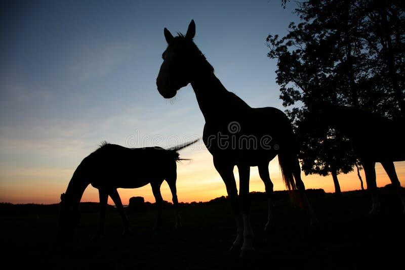Cavalos fotos de stock royalty free