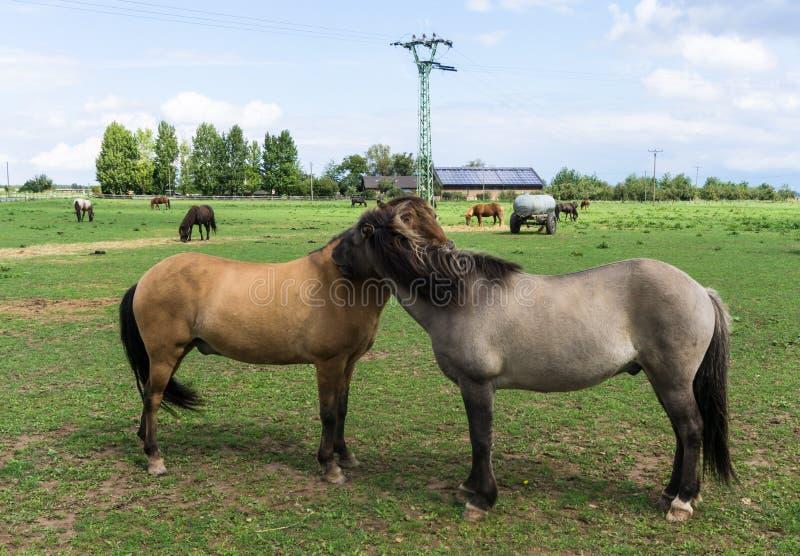 Cavalos animais de exploração agrícola no prado foto de stock