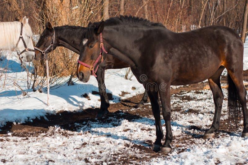 Cavalos bonitos da castanha e cavalo branco na floresta nevado Russi fotografia de stock