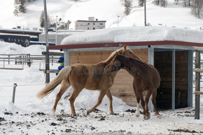 Cavalos bonitos que jogam no celeiro nos cumes nevado switzerland no inverno foto de stock