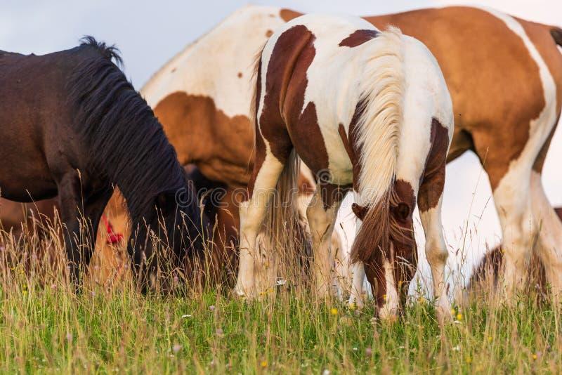 Cavalos bonitos que pastam no pasto verde luxúria no campo verde fotografia de stock royalty free