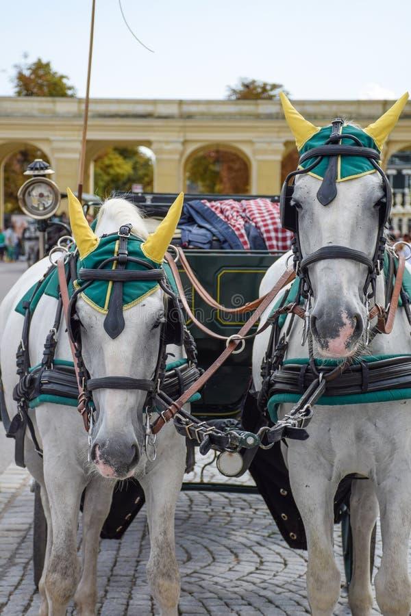 Cavalos brancos bonitos e tradição do transporte, em Viena, Áustria imagens de stock