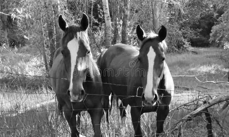 Cavalos brancos da listra imagem de stock