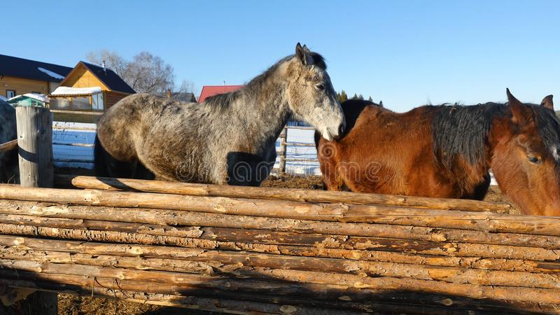 Cavalos brancos e marrons pretos que estão na neve em um prado perto da cerca de madeira branca imagens de stock royalty free