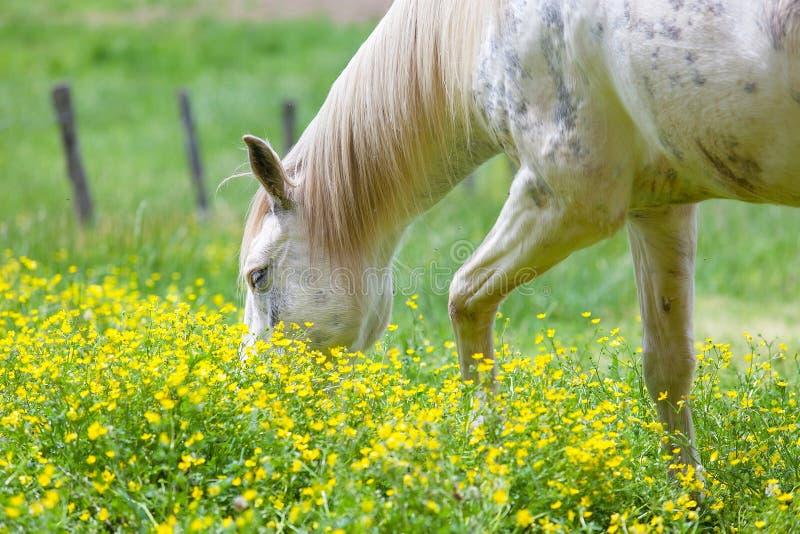 Cavalos brancos que pastam em um campo luxúria coberto com o campo de flor amarelo em grandes montanhas fumarentos parque naciona imagem de stock royalty free