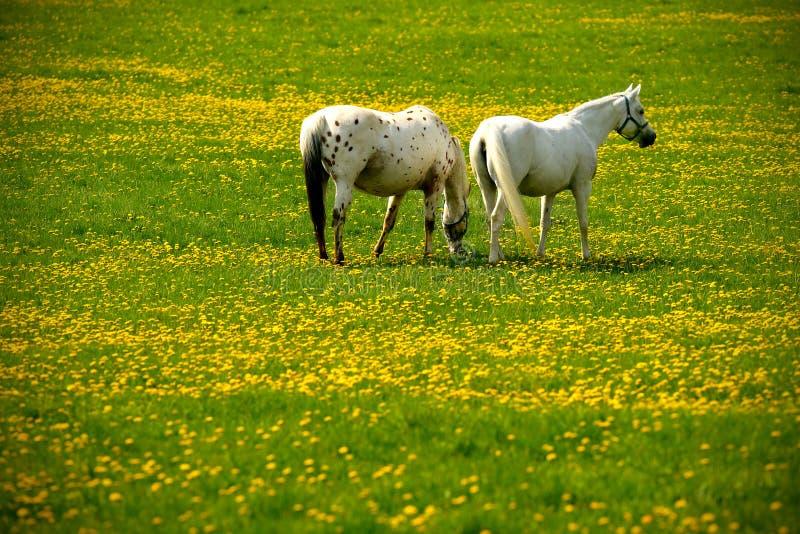 cavalos cinzentos no prado da flor imagem de stock