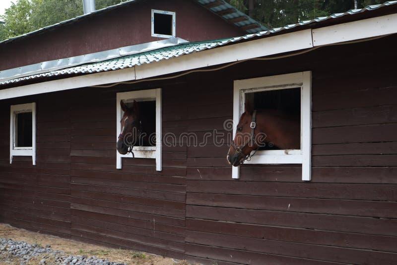 Cavalos com a parte externa principal do est?bulo Cabe?a do cavalo que olha sobre a janela est?vel cavalos marrons no olhar da ex foto de stock