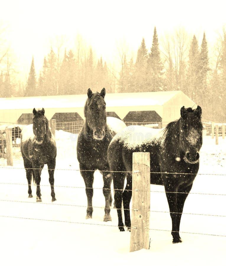 3 cavalos curiosos! imagens de stock