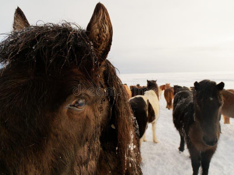 Cavalos da ilha no inverno fotos de stock