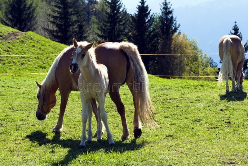 Cavalos da ra?a de Haflinger em St Catarine, Tirol sul, It?lia foto de stock royalty free