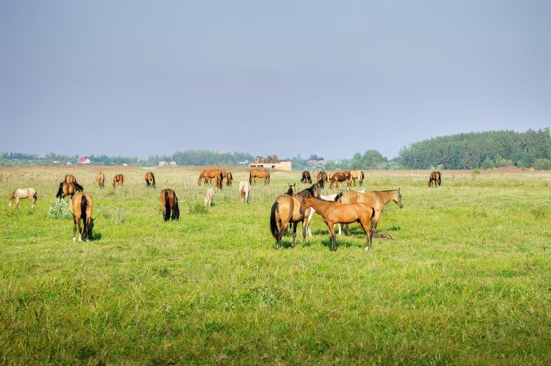 Cavalos de Akhal-teke no pasto fotografia de stock royalty free